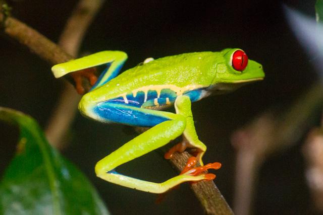 Costa Rica Day 8: Agalychnis callidryas is depending on us