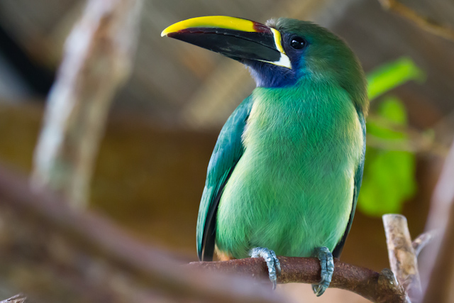 Green Toucan. I had encountered one of these a couple of weeks ago at Manuel Antonio National Park.
