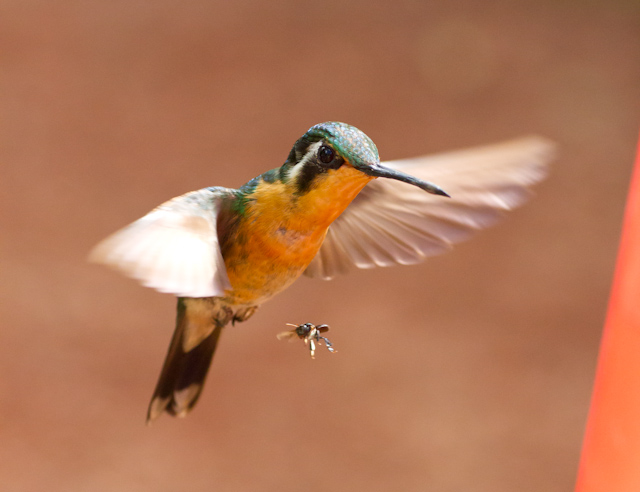 I'm pleased with this: I like the blur in the wings to indicate their speed of motion.