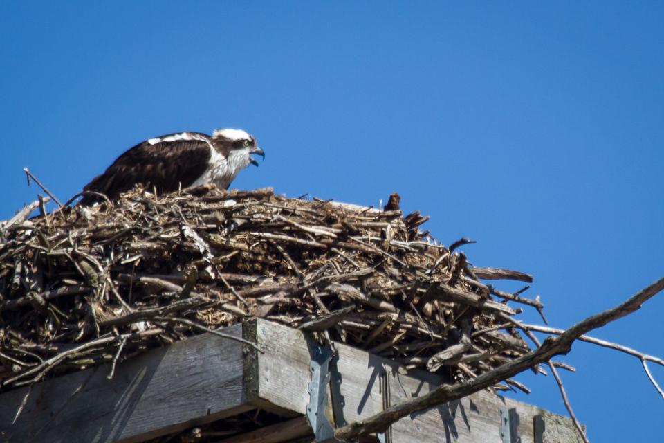 Female osprey chirping on nest