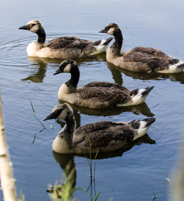 Scruffy adolescent Canada geese
