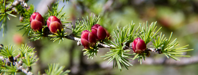 Conifer berries