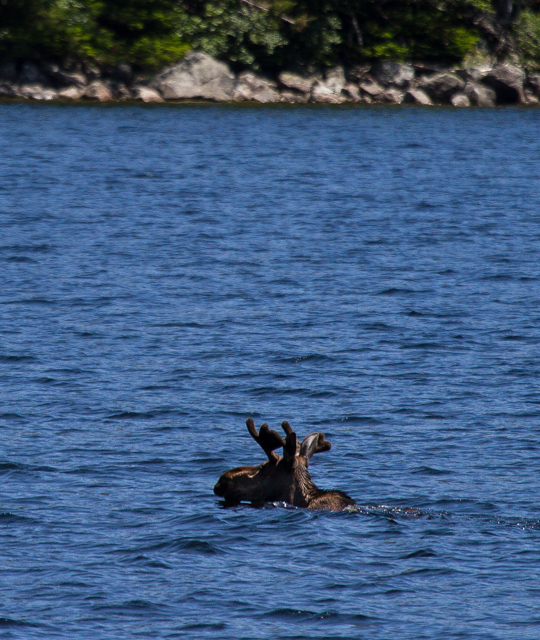 Swimming moose 1