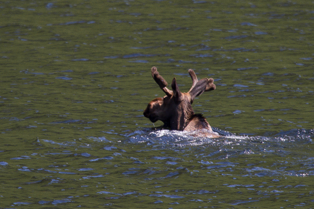 Swimming moose 2