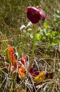 Pitcher Plant: death to insects