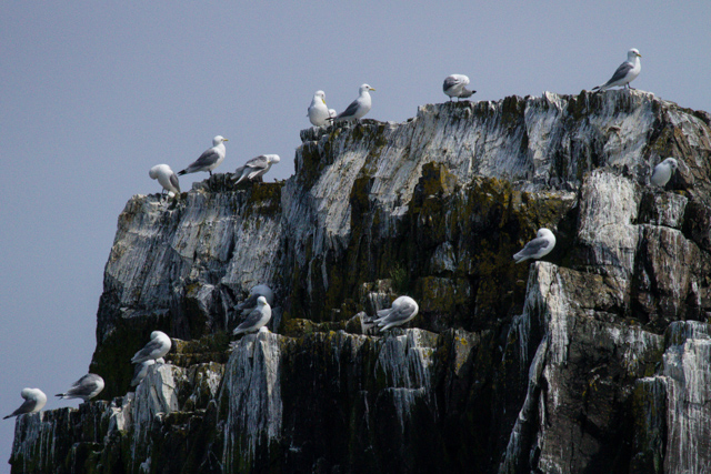 Kittiwakes on the rock cliff