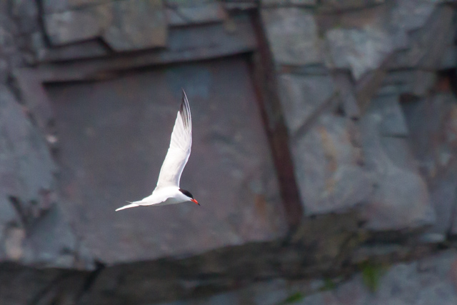 One good tern . . .