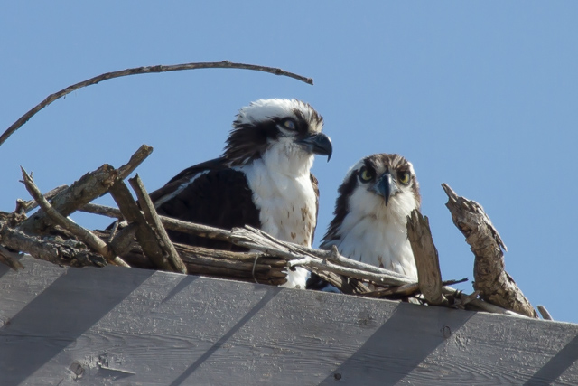 Ospreys: breeding pair, near near the Rideau River at Burritt's Rapids, Ontario. April 3 1014