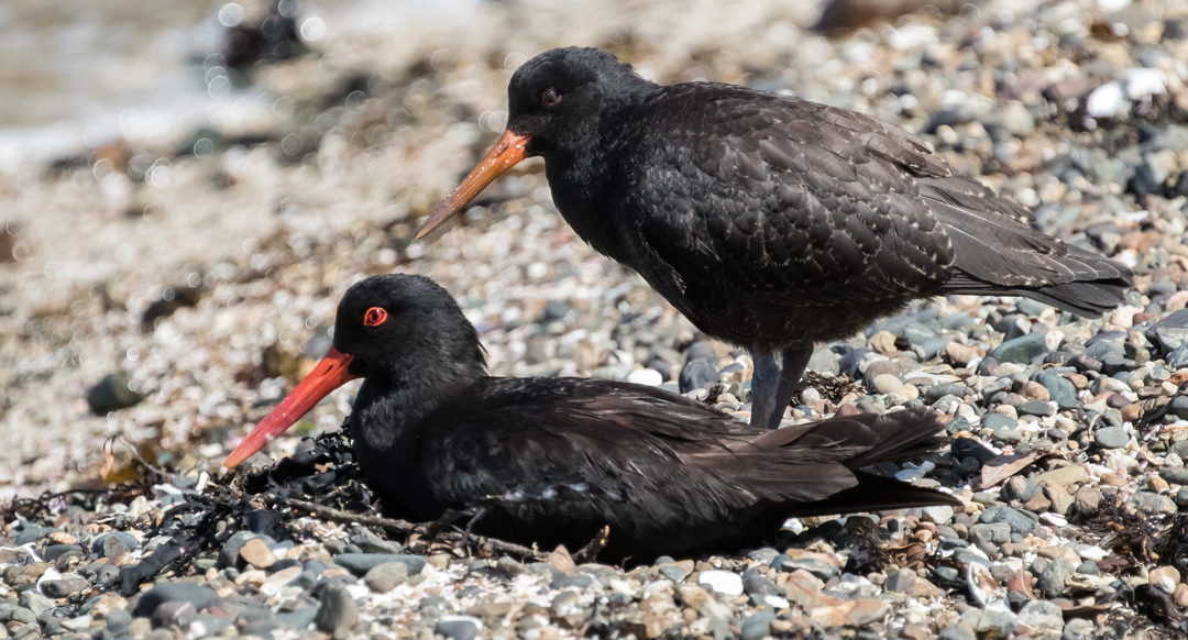 Variable Oystercatcher (sometimes called Black Oystercatcher). Conservation status: Recovering. Their numbers dipped dangerously low before being protected in 1922.