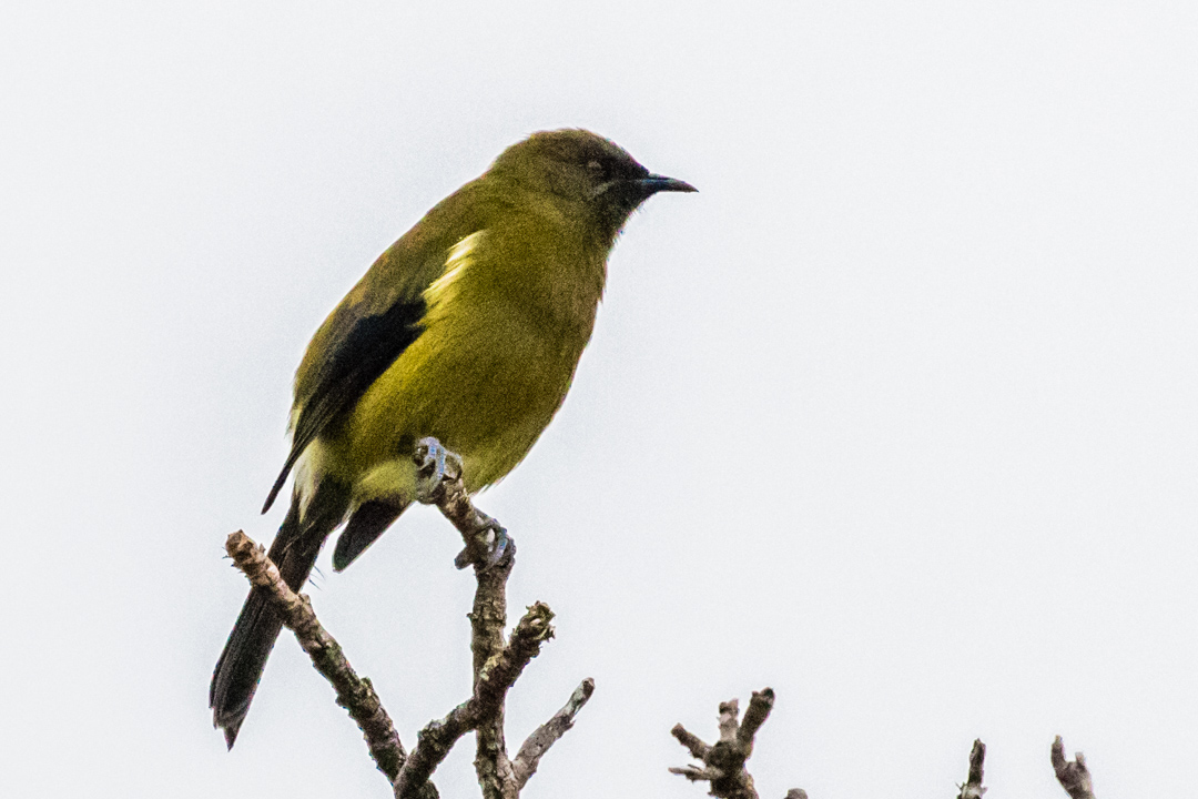 Bellbird. A melodious songbird that place the flute in the forest symphony.