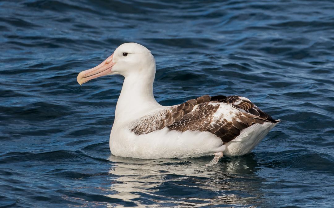 Albatross on the water, off the coast of Kaikoura