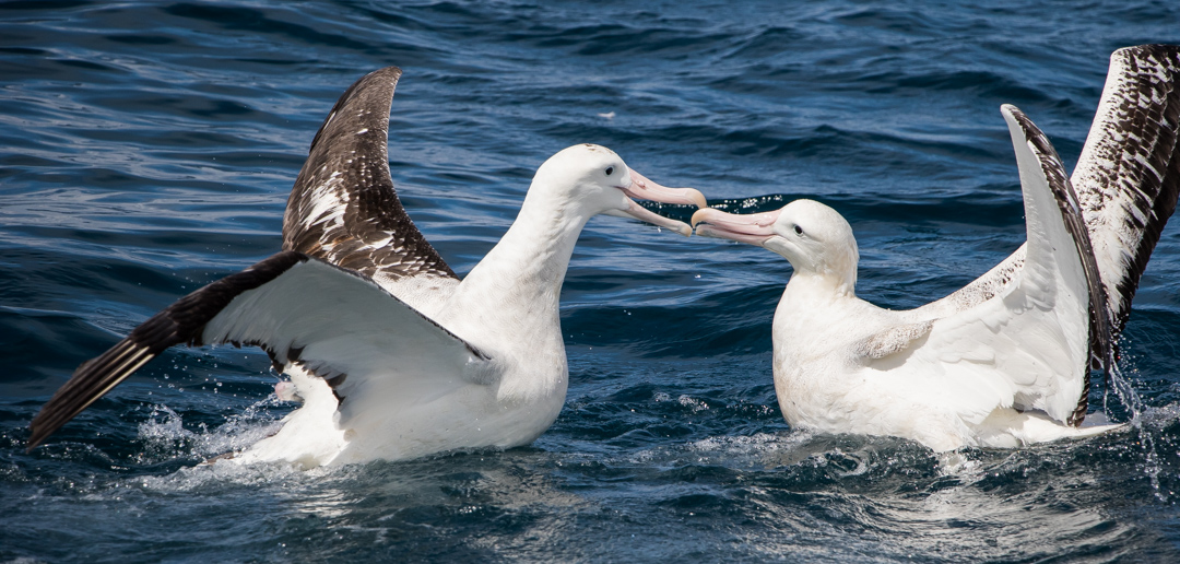Although they look docile,, albatross can squabble, sometimes visciously, over food.