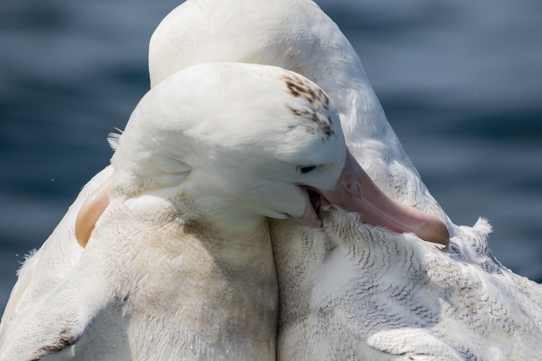 In this shot, one albatross appearsto be doing serious damage to another. Again,the fight was over food.
