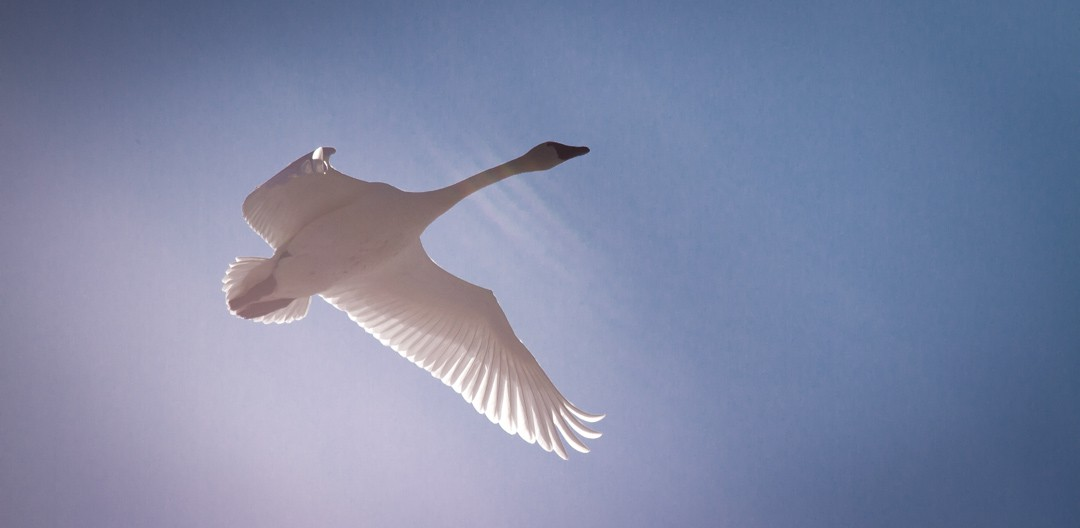 The Mighty Tundra Swan