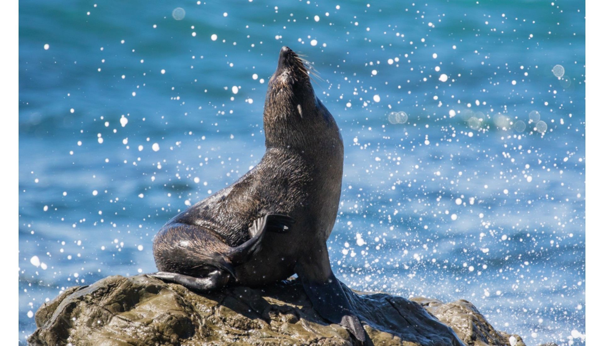 Sea Lion, Kaikoura, NZ, 2015