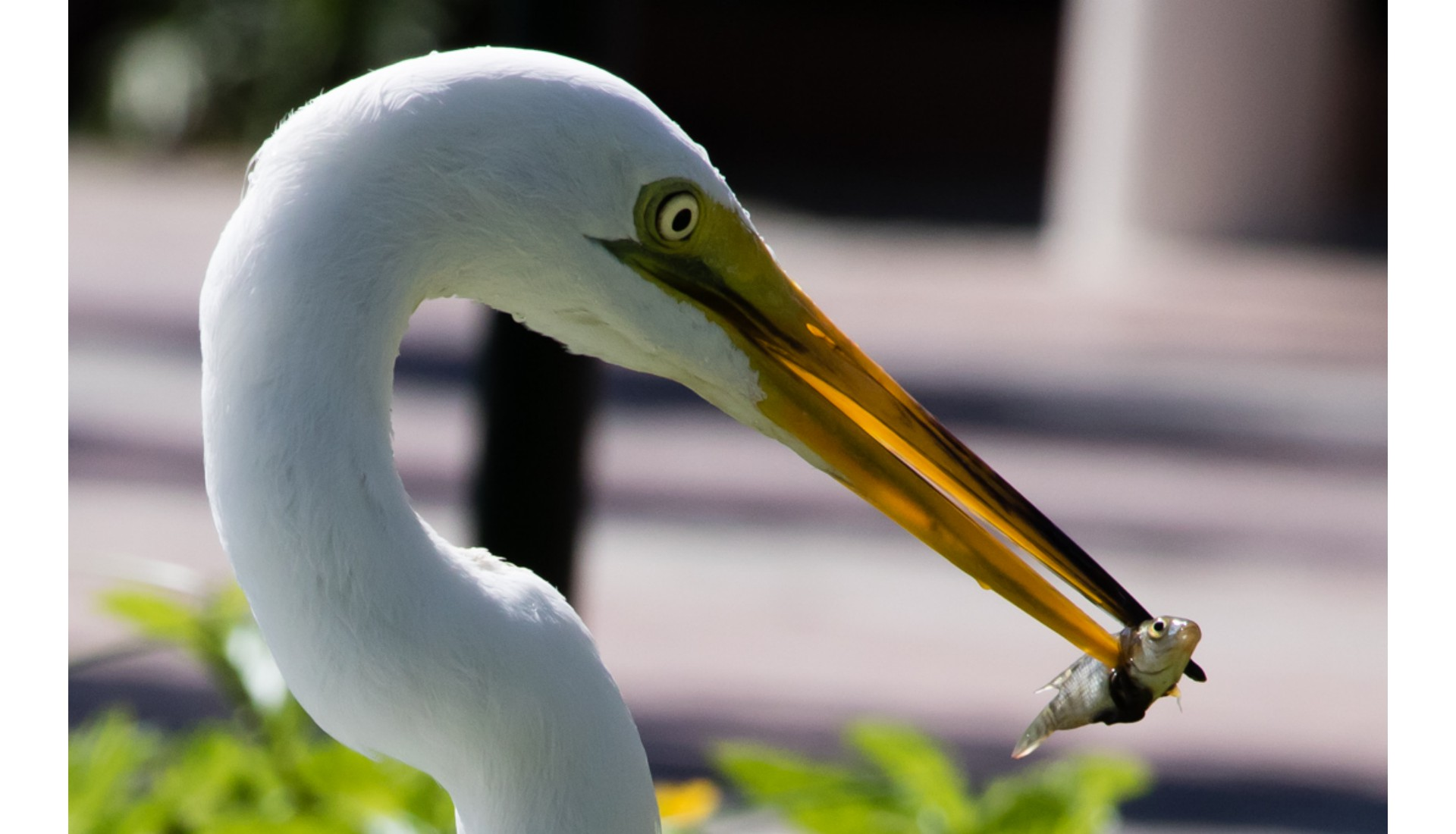 White Egret with Prey, Punta Cana, Dominican Republic, 2016