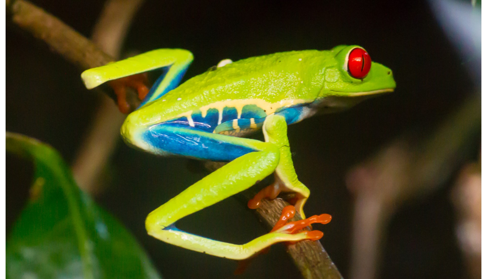 Red-eyed Tree Frog, Monte Verde, Costa Rica, 2012