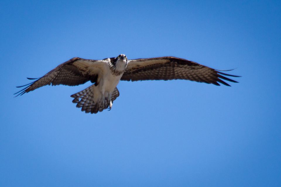 Male hovering over nest