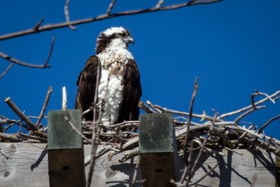 Female osprey