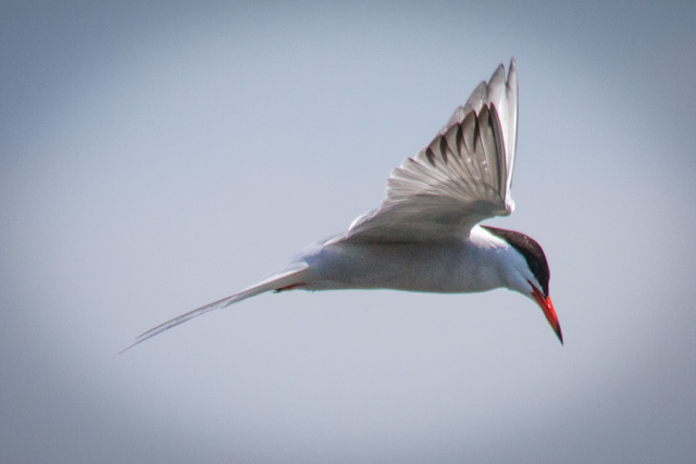Tern at the cusp of a dive