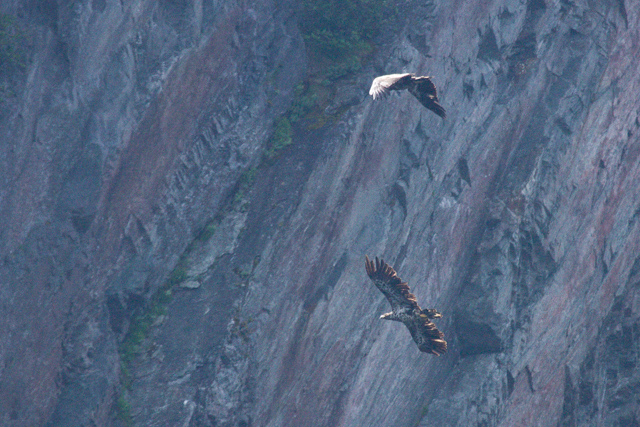 Eagles and cliffside