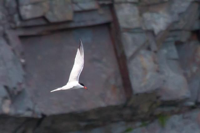 One good tern . . .