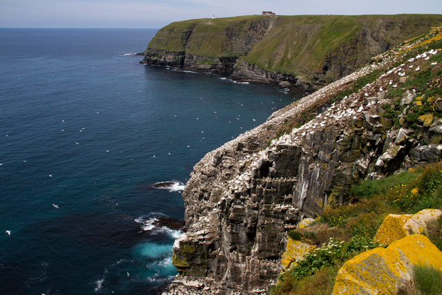Gannets rule the roost, but the cliffs are also home to kittiwakes and common murres.