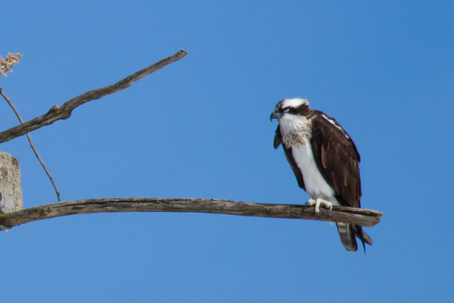 Osprey: At Merrickville, Ontario, April 3 2014