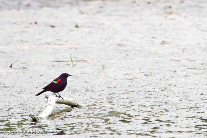 Red winged blackbird overlooks the amphibian pond