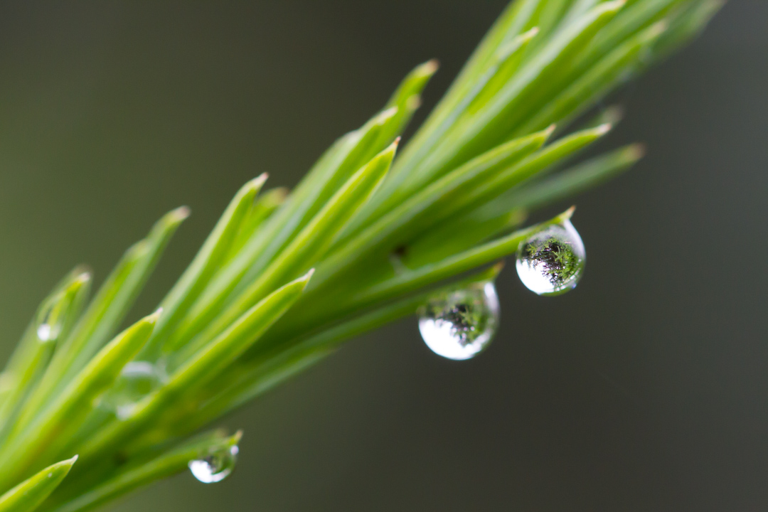 Pine needles and droplets