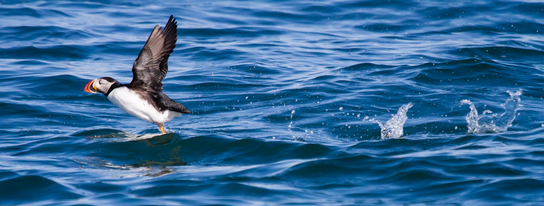 You'll often see them hopping on the water to help them achieve air speed as they take off.