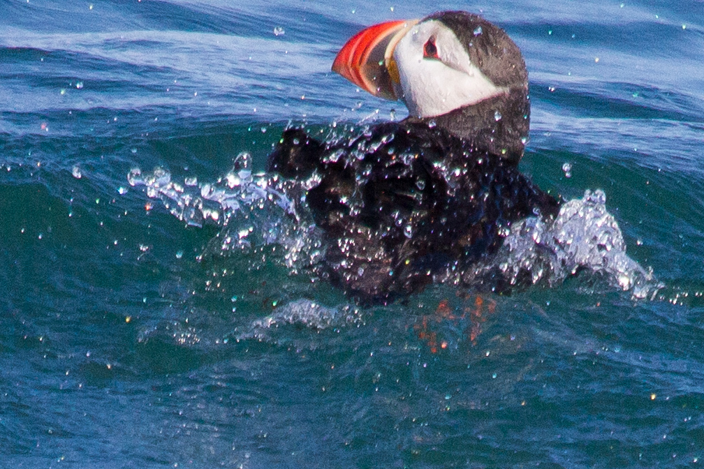 The only time puffins make land is when they breed, nest and raise their young. The rest of the time they remain on the water, far from any land.