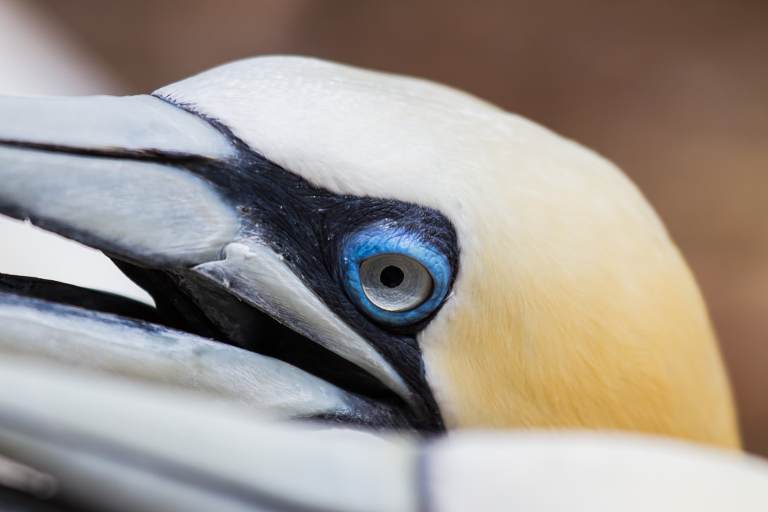 The wild and rowdy world of the Northern Gannet