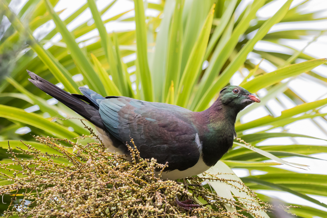 New Zealand Pigeon. Conservation status: Not threatened. This bird can be found throughout New Zealand and, like many of its North Amercan relatives, even in cities.
