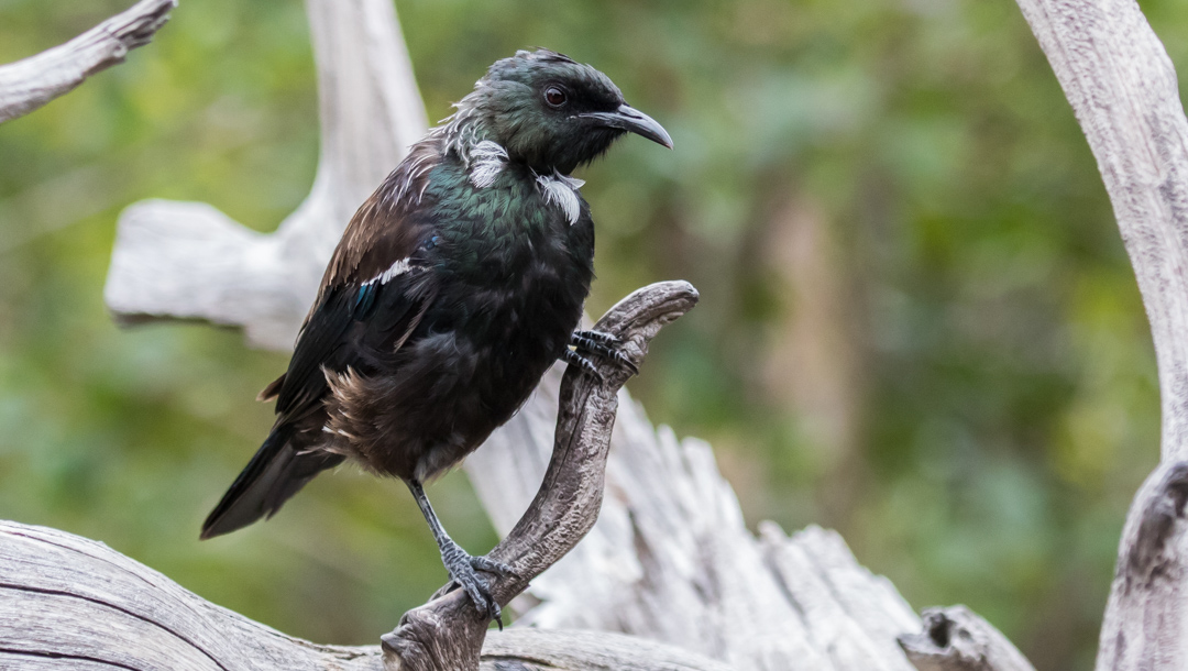 Tui. Conservation status: Not threatened.  Tuis are widespread in New Zealand and notoriously aggressive.