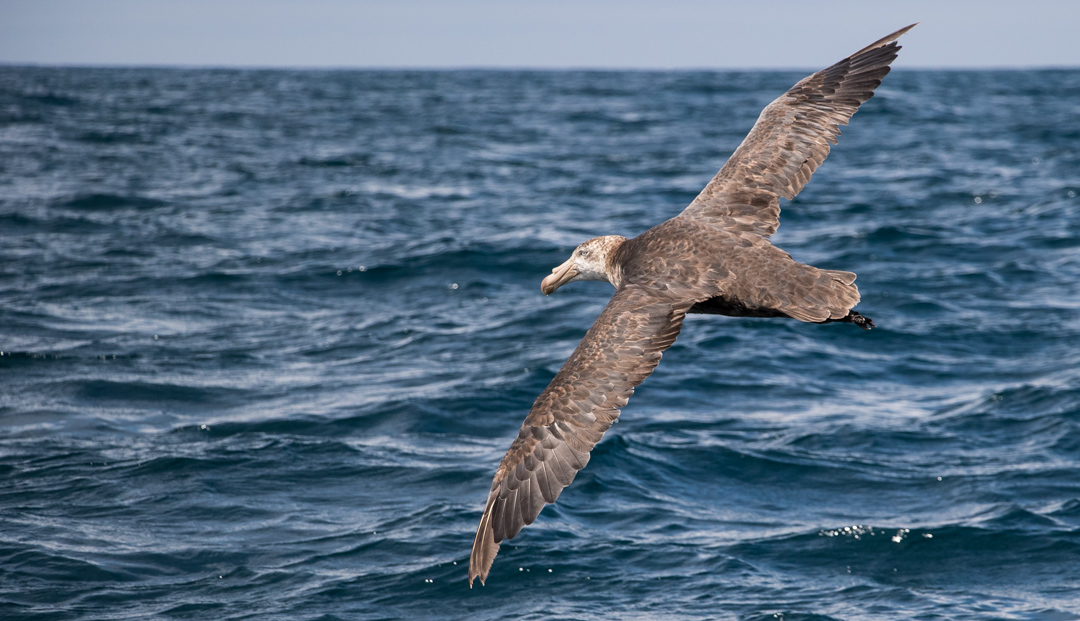 Petrels are close cousins of albatrosses. Here's one (a great northern petrel) in flight . . .
