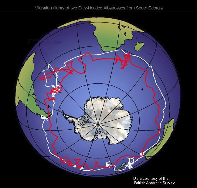 trans_global_albatross_flights