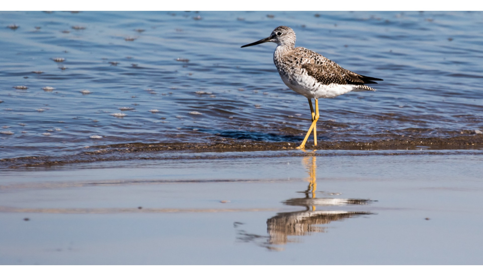 Greater Yellowlegs, Puerto Vallarta, 2017