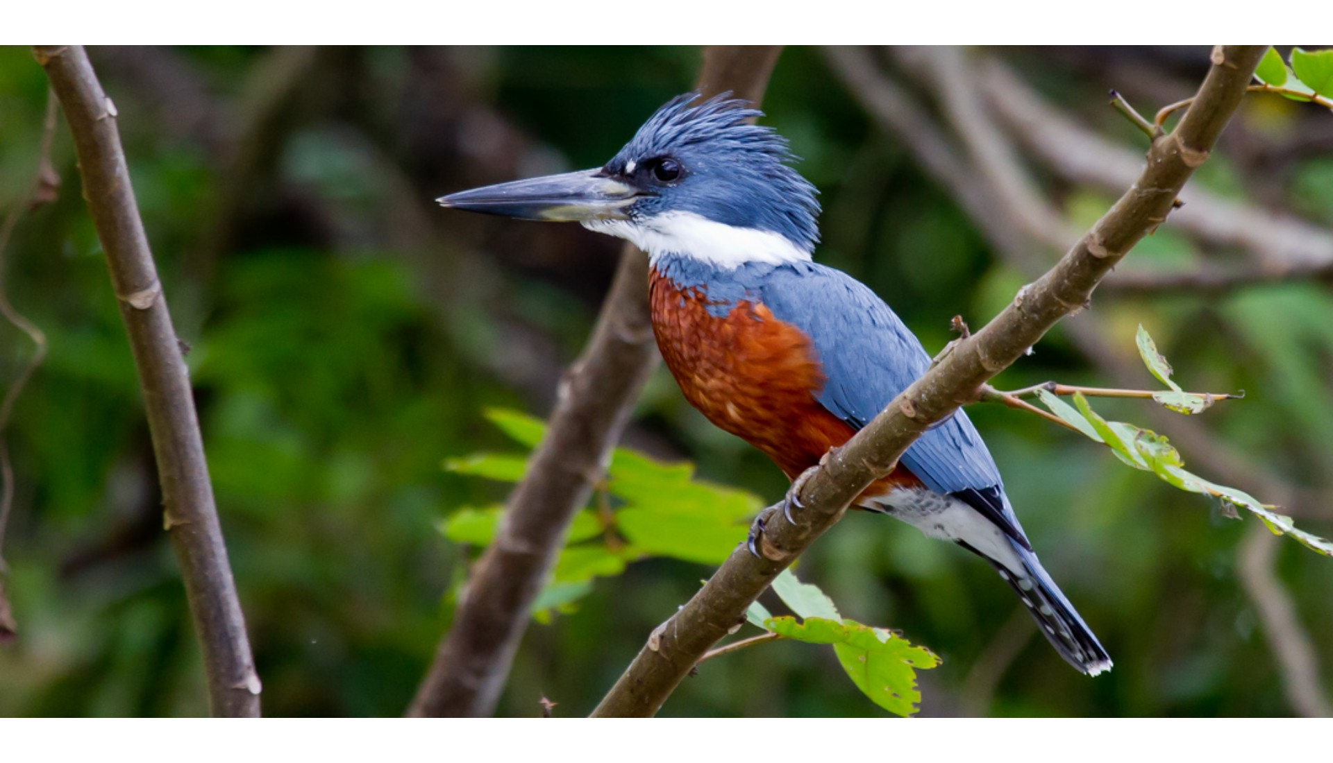 Ringed Kingfisher,  Caño Negro, Costa Rica, 2012