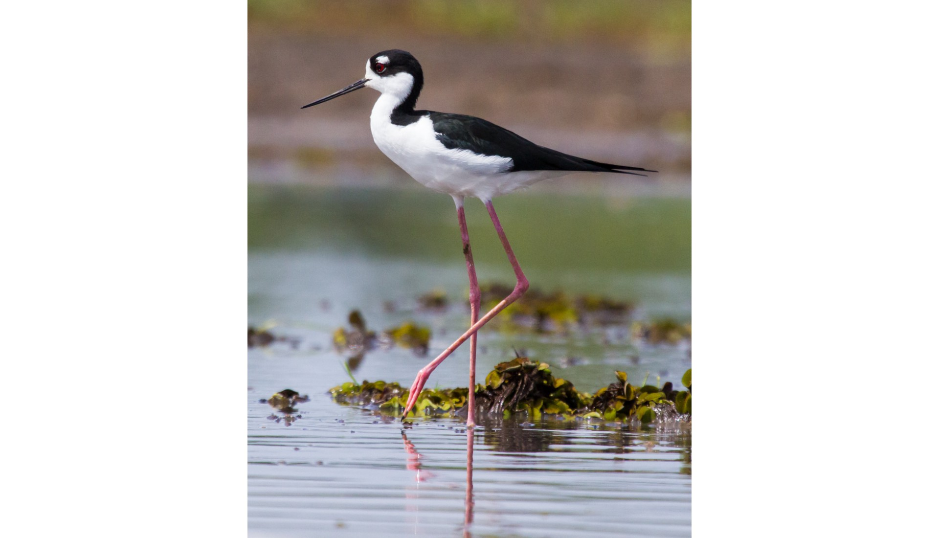 Black-necked Stilt, near Dominical, Costa RIca, 2012